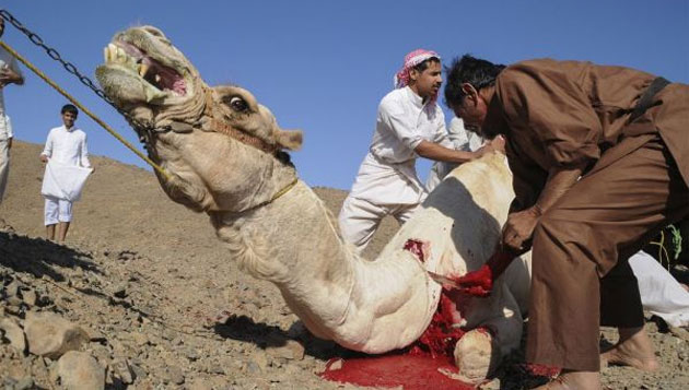 HC refuses to lift ban on camel slaughter